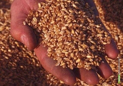Тамбовское зерно оказалось «с душком»