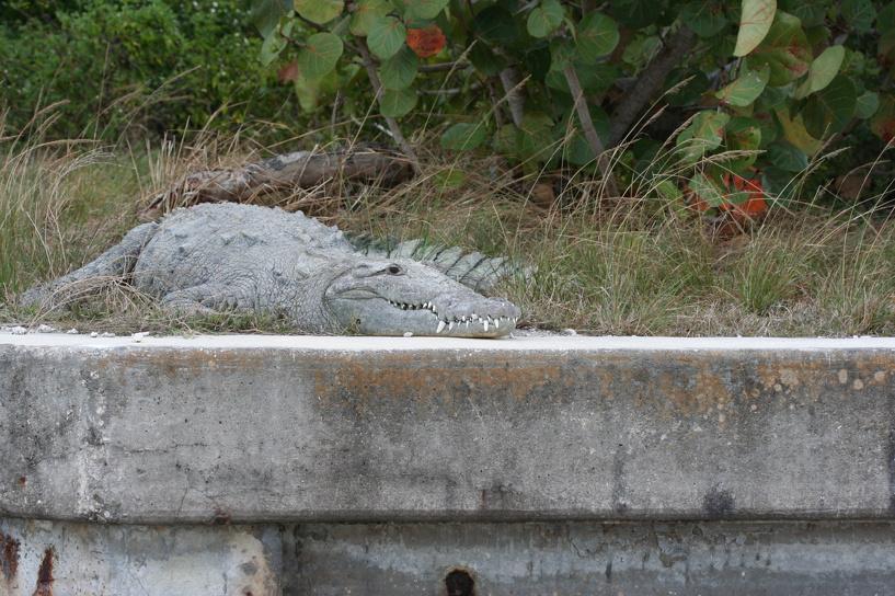 В США крокодил помог поймать угонщика машин