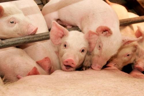 Тамбовская область вошла в число лидеров по производству мяса
