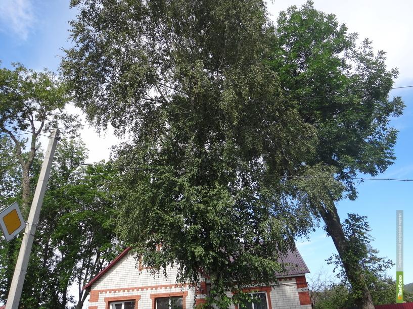 В деревьях-гигантах тамбовчане видят угрозу
