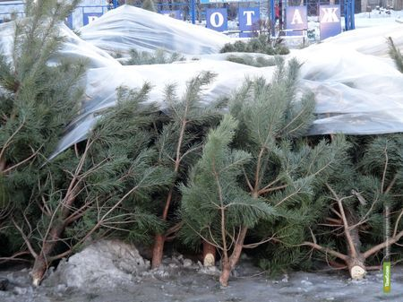 В Тамбовской области началась заготовка новогодних елок