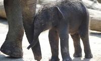 В Японии разъяренная слониха растоптала смотрителя зоопарка