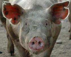 Африканская чума свиней добралась до Тамбовщины