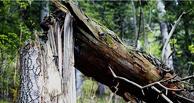 Под Тамбовом лесоруба придавило деревом