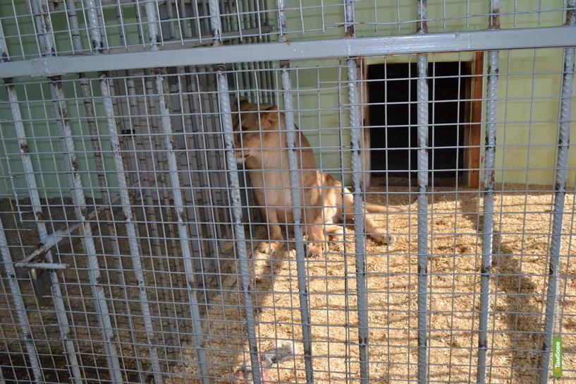 ТГУ попробует договориться с родителями девочки, покусанной львицей