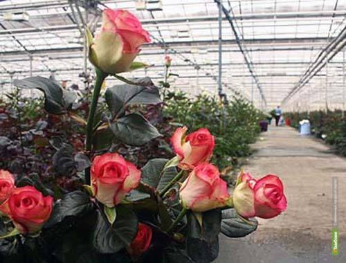 Итальянские специалисты будут выращивать розы на тамбовской земле