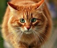 У страха глаза велики: британцы спутали кота со львом