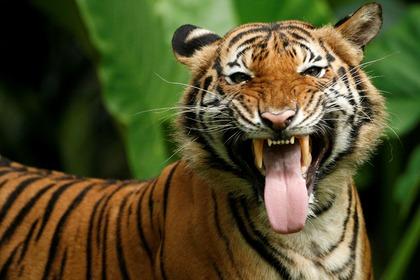 Три грузина стали жертвой тигров из зоопарка