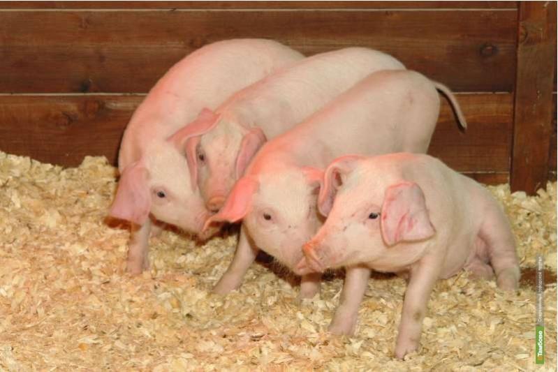 Перспективы развития животноводства в Тамбове обсудят с премьером