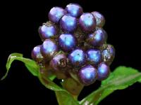 Ученые нашли самую яркую ягоду на Земле