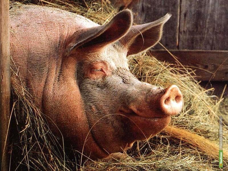 Жителям нескольких сёл Бондарского района запретят покупать свиней