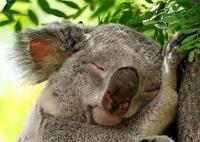 Медведи коалы оказались под угрозой вымирания