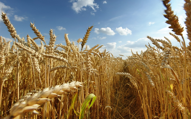С тамбовских полей собрали более 2 миллионов тонн зерна