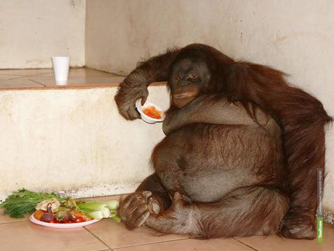 Толстая обезьяна стала следить за фигурой