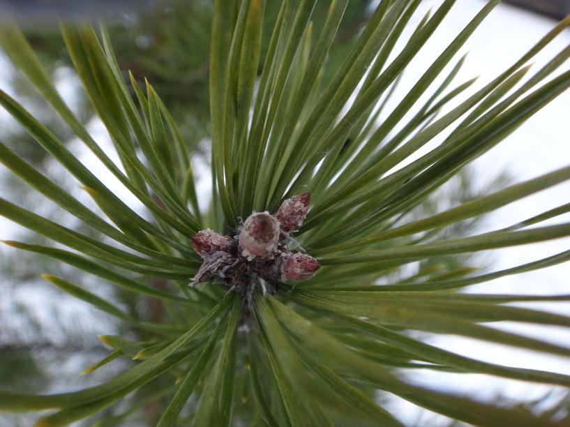 Тамбовские лесники защитят новогодние елки от незаконной рубки