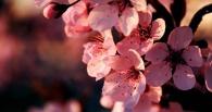 В Тамбове появится сакуровый сад
