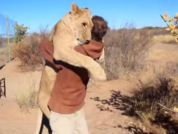 Милота и котики: львица, обнимающая основателя заповедника, покорила YouTube