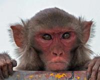 Учёные создали первых в мире обезьян-мутантов
