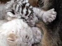 В Китае немецкая овчарка «усыновила» белых тигрят