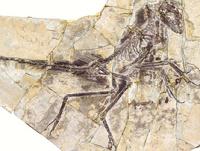 В Китае откопали «короткостриженного» динозавра