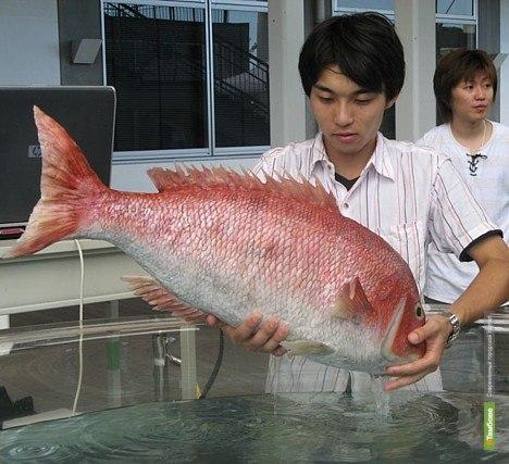 Тамбовчане могут есть японскую рыбу без опаски