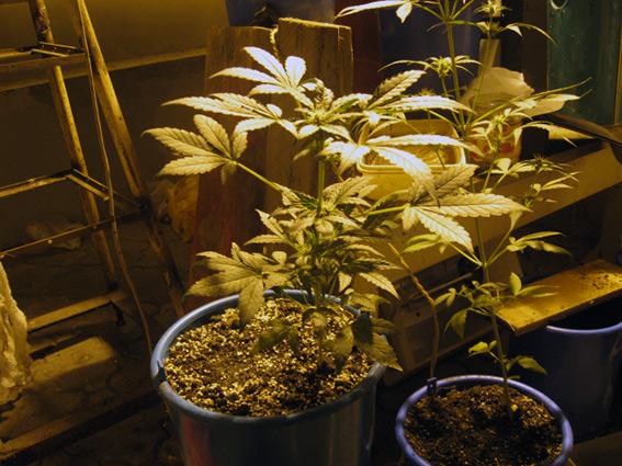 Житель Тамбова выращивал коноплю у себя в гаражах