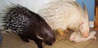В Державинском зоопарке пополнение: родились два малыша-дикобраза