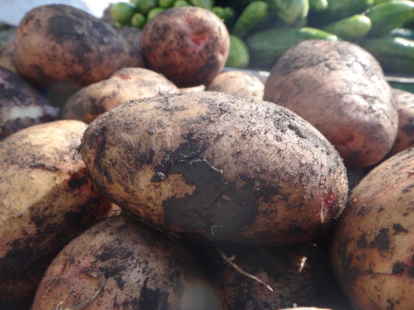 Тамбовскую картошку похвалили голландцы