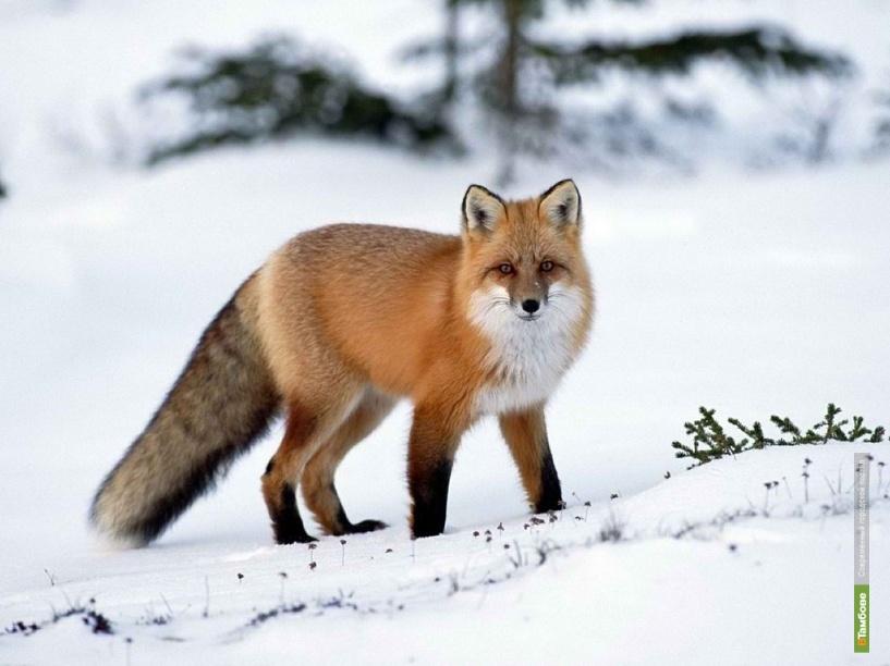 Тамбовские охотники взялись за отстрел лис