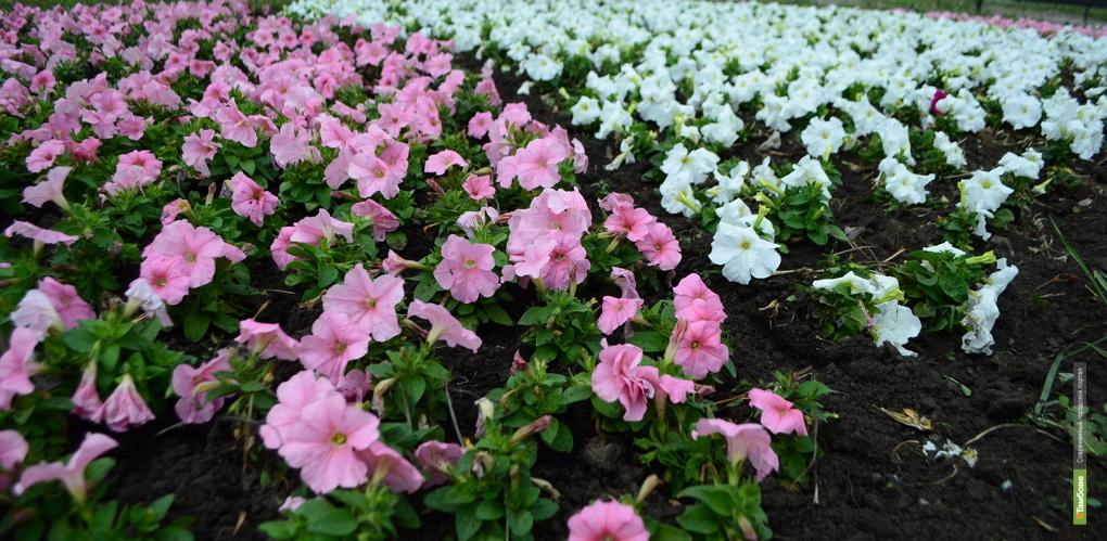 Весной Тамбов украсят более двух миллионов цветов