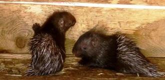 В зоопарке ТГУ имени Г.Р. Державина родились дикобразы