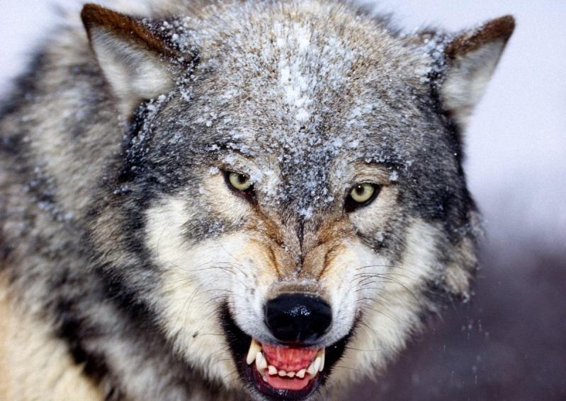 Так надежнее: таджикские наркоторговцы посадили волка охранять героин