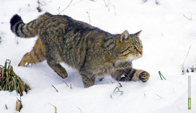 В тамбовских лесах поселился дикий кот
