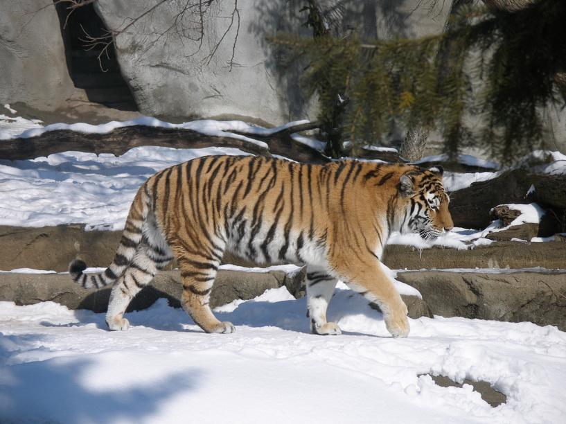 #догонитигра: WWF запустил акцию в поддержку амурских тигров