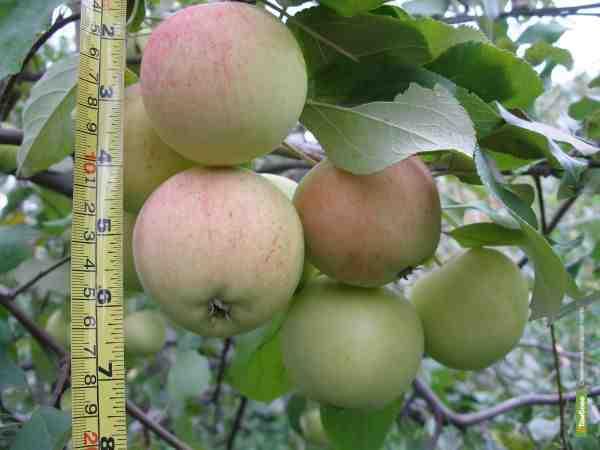 На улицах Тамбова будут зреть яблони и груши