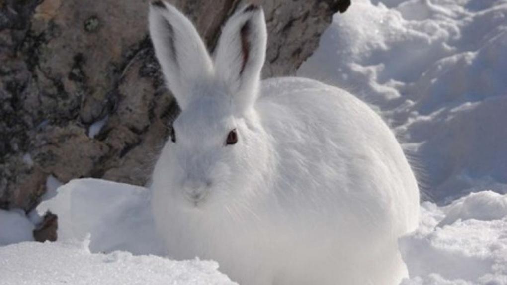 «Ушастые» не пропадут: на Тамбовщине подкармливают диких зайцев