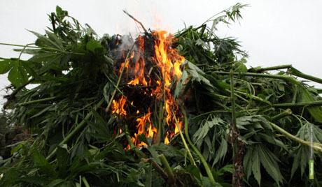 На Тамбовщине сожгли больше 7 тонн конопли
