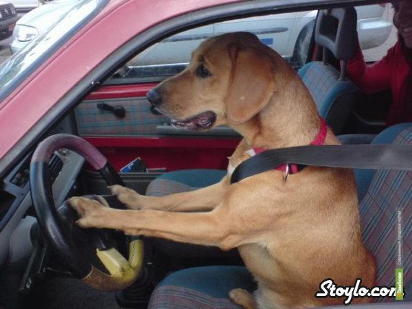 В Тамбове пьяных водителей заменят собаками