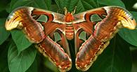 В зоопарке ТГУ ждут потомства одной из самых крупных в мире бабочек