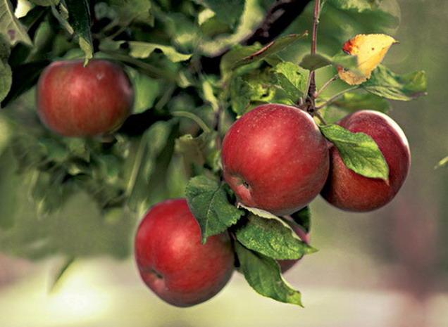 В Тамбове общественности представят «яблочный» календарь