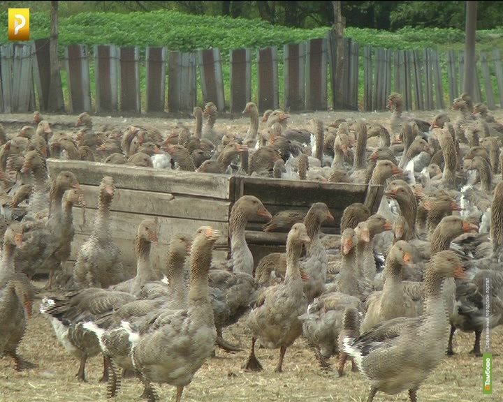 В Рассказовском районе погибло полторы тысячи гусей