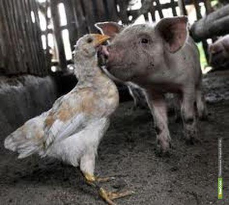 Тамбовская птицефабрика «обрастёт» свинокомплексами