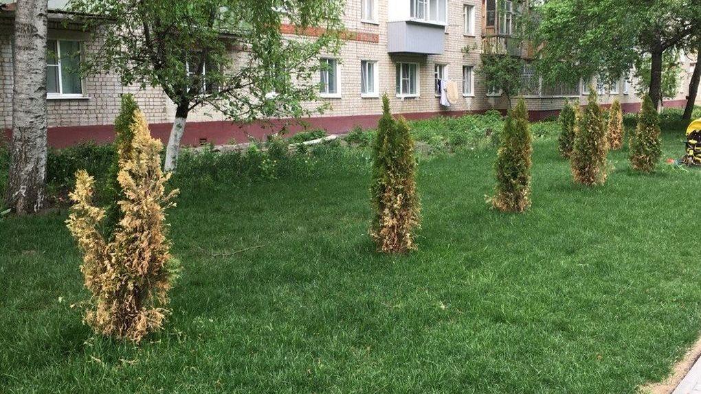 В сквере на Пензенской погибают недавно посаженные туи