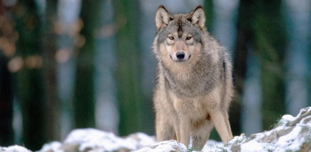 В тамбовских лесах снова появился волк