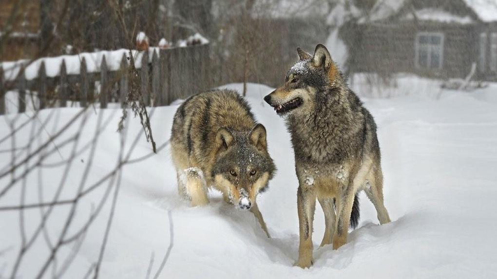 Волк в кирсановском селе всё ещё пугает местных жителей. Разрешение на отстрел хищника получено