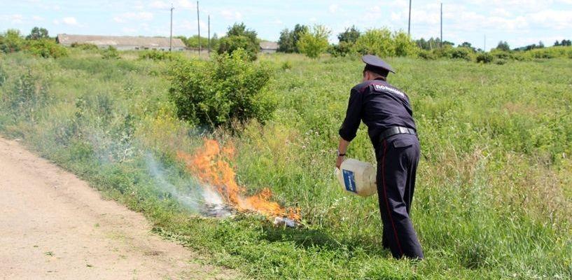 Полицейские сожгли 9 тонн дикорастущей конопли