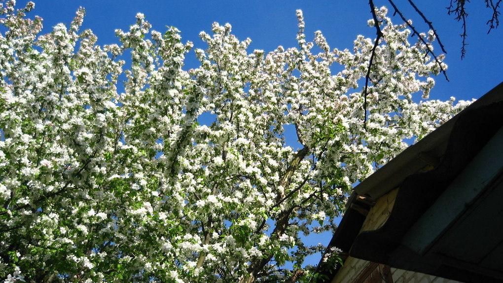 В музее-усадьбе «Ивановка» появится уникальный вишнёвый сад