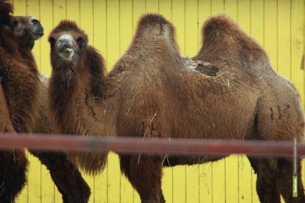 Тамбовский зоосад заработает на верблюде