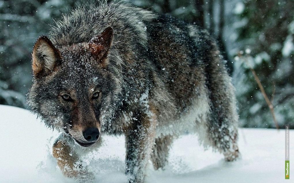 На Тамбовщине началась охота на волков
