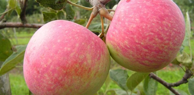 В Башкортостане появится яблоня в честь Котовска